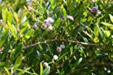 Syzygium (Acmena) smithii | Mini Lilly Pilly | 10_Seeds