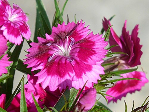 Elk Blossom - Home Comforts LAMINATED POSTER Carnation Flower Pink Blossom Bloom Bush Elke Poster 24x16 Adhesive Decal