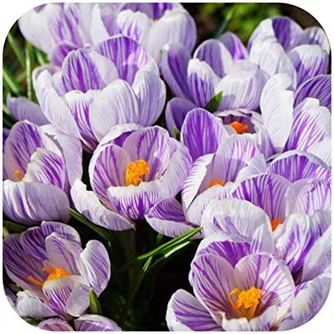 Crocus Vernus King Of The Striped X 50 Flowering Bulbs Purple Striped By Growtanical Amazon Co Uk Garden Outdoors