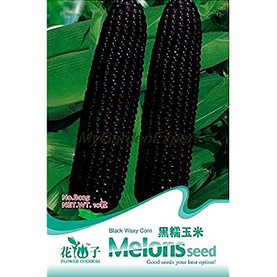 VISTARIC Hot Selling 10pcs Black Waxy Corn Seed, Black Maize Seed, Bonsai Seeds, Vegetable Seed Original Packing : Garden & Outdoor