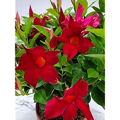 Dipladenia Bush Live Plant - Red - 3 Gallon Pot - Overall Height 22