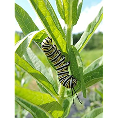 Monarch Milkweed Seed Mix for Southern States, 100 Certified Pure Live Seed