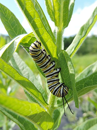 monarch-milkweed-seed-mix-for-southern-states-100-certified-pure-live-seed
