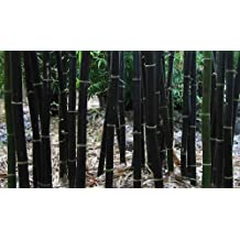 50 Phyllostachys nigra seeds - Black Bamboo - giant bamboo - cold hardy