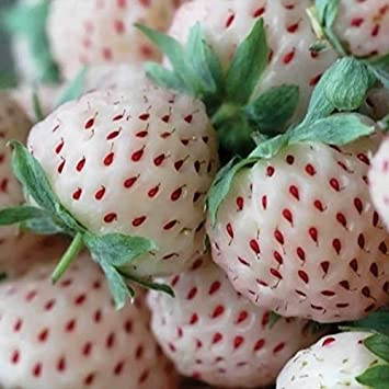 Portal Cool Plantas 20X pineberry Fresa: Amazon.es: Jardín
