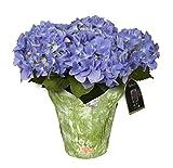 hana bay flowers 5400.06 Hydrangea Blooming Plant Blue