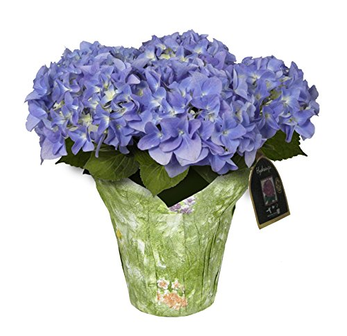 Hydrangea Potted Plant - hana bay flowers 5400.06 Hydrangea Blooming Plant, Blue