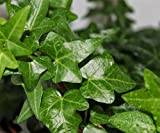 """AMERICAN PLANT EXCHANGE English Ivy Baltic Trailing Vine Live Plant, 6"""" Pot, Indoor/Outdoor Air Purifier"""