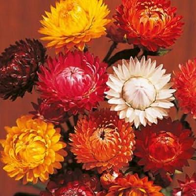 Tall Double Mixed Colors 75 Strawflower Seeds Attract Butterflies Hummingbirds! : Garden & Outdoor
