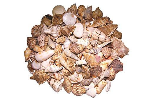 Beautiful Small Seashells (One Half Pound) 1 Inch Shell Size ()