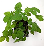 1 Marionberry Plant- The Most Flavorful BlackBerry - Live Potted