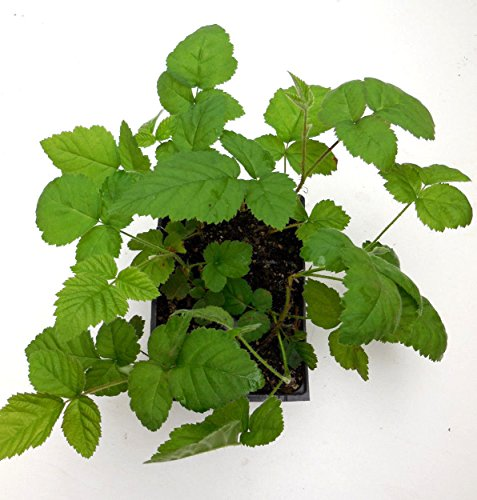 1 Marionberry Plant- The Most Flavorfull Blackberry