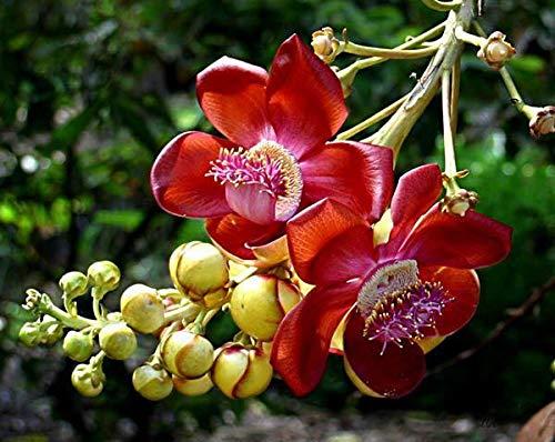 SHOP 360 GARDEN Very Rare Flower Plant , Nagalinga / Shiva Linga tree /  Shiv Kamal or Kailaspati / Nagalinga Ful Nagalingam Nagkeshsar (Bengali) /