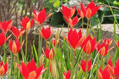 tulip-seeds-tulipa-sprengeri-persistent-and-self-seedingbright-red-very-rare
