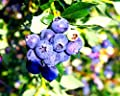 "Blueberry Plants ""Farthing"" (Southern Highbush) Includes (4) Four Plants"