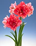 2 Double Pink dutch Amaryllis 'Double Dream 22/24cm