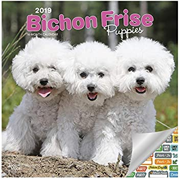 Amazon com : Bichon Frise Calendar 2019 - Dog Breed Calendar