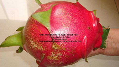 2 .''Giant Vietnamese'' white dragon fruit weight average 2-2 1/2 lb Fruit ,unrooted cuttingPlant Easy Grow, Hybrid 'GIANT VIETNAMESE' variety, pitahaya, (Hylocereus undatus) by viablekitchenseeds-US by viablekitchenseeds-US