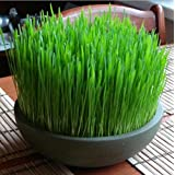 Small bonsai cats catnip seeds of wheat straw, bonsai seed wheat wheat seeds in original package, cat grass seeds 100 B543