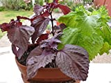 Shiso (紫蘇)Red Perilla (Perilla Frutescens) 1000 Seeds, Easy to Grow, (Og) Organic