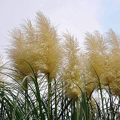 500 pcs Pampas Grass Seeds Easy to Grow : Garden & Outdoor