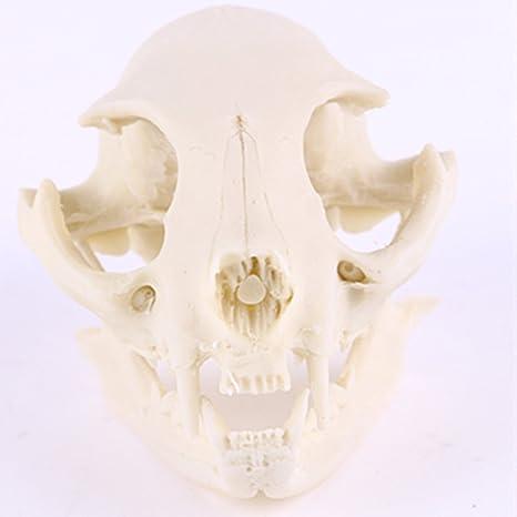Cráneo Del Gato Realista Decoración Modelo De Esqueleto De La Enseñanza Réplica De Resina Acuario
