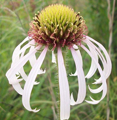 Purple Cone Flower / Echinacea pallida - 20 seeds (Organically grown)