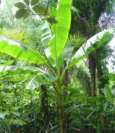 Live Banana Tree Plant