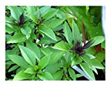 David's Garden Seeds Herb Basil Asian Sweet Thai SS945 (Green) 200 Non-GMO, Organic Seeds
