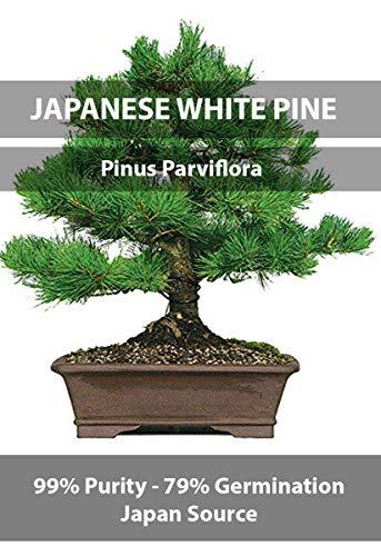 White Bonsai Tree Pine (Japanese White Pine Premium Bonsai Seeds, Japan Source, Crop Year 2016, Purity 99% Germination 79%, Real Japanese, 5 Premium Pure Seeds per Packet!)