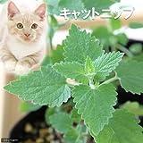 charm(チャーム) (観葉植物)ハーブ苗 猫草 キャットニップ コモン 3号(1ポット)