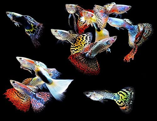 Amazon Com Worldwidetropicals Live Freshwater Aquarium Fish 5 5 Pack Of Mixed Color Male Guppies 5 Of Mixed Color Male Guppies By Live Tropical Fish Great For Aquariums Populate Your Fish Tank Pet Supplies