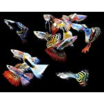 WorldwideTropicals Live Freshwater Aquarium Fish – (5) 5-Pack of Mixed Color Male Guppies – 5 of Mixed Color Male Guppies – by Live Tropical Fish – Great For Aquariums – Populate Your Fish Tank!