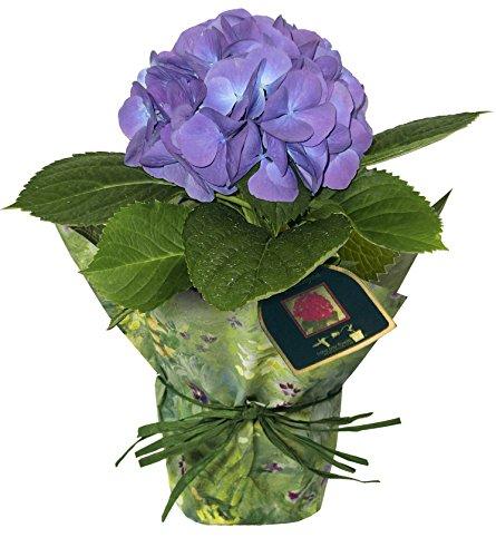 Hydrangea Potted Plant - hana bay flowers 5400.04BL Hydrangea single blue Live Plant Blue Blue