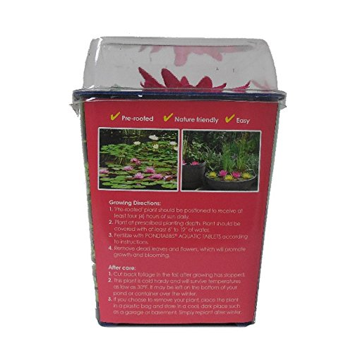 Spring-Time! Live Aquatic Plant, Hardy Pre-Grown Red Water Lily Nymphaea Venusta (1 each)