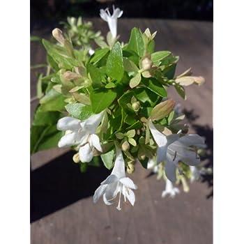 Amazoncom Quart Plant Little Richard Abelia Very Attractive