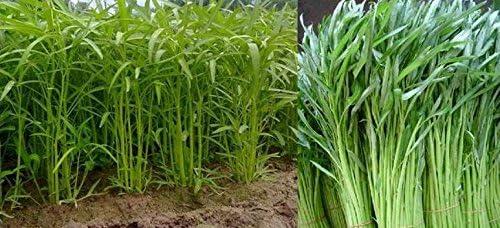 Amazon.com: 10 g 420 semillas, Chia Tai semillas, Morning ...