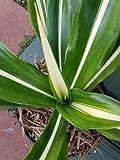 False agave Furcraea foetida 'Mediopicta' sport live plant drought tollerant