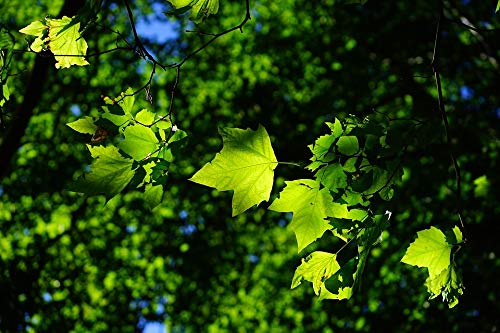 Photography Poster - Sycamore, Leaves, Tree, Green, 24
