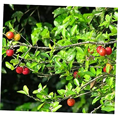 TLP 1 Pcs Live Plant Acerola Live Fruit Tree - 143EB : Garden & Outdoor