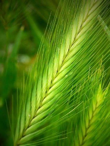 100 BARLEY Hordeum Vulgare Grain Grass Cover Crop Beer Seeds *Comb S/H