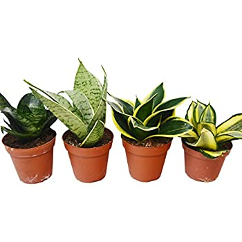 Top Indoor Air Purifier AMERICAN PLANT EXCHANGE Sansevieria Hahnii Easy Care Birds Nest Snake Plants Live 3 Pack 4 Pots