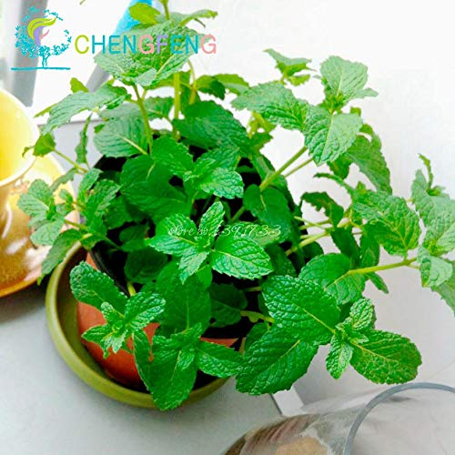 (Peppermint Mint Mentha Plants | Garden Bonsai | Vanilla Plants (Great Tea Medicinal Cosmetic) Bonsai | Indoor Plants Flowers (400 Pcs))