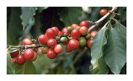 Coffea arabica - planta del café - 10 semillas