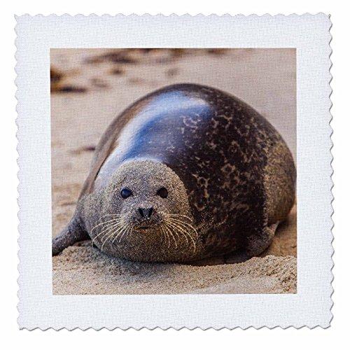 Danita Delimont - Animals - La Jolla Cove, San Diego, Harbor Seal on the Beach - 12x12 inch quilt square (qs_230174_4)