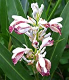 Alpinia galanga | Greater Galangal | Siamese Ginger | 10_Seeds