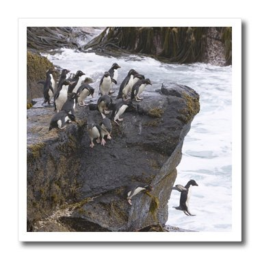 3dRose ht_86491_1 Falkland Islands, Rockhopper penguin - SA09 HRO0007 - Hugh Rose - Iron on Heat Transfer for White Material, 8 by 8-Inch ()