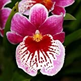 Large Miltoniopsis Martin Orenstein orchid red pink with waterfall lip