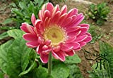 Flowering Plant Gerbera Jamesonii Seeds 60pcs, Beautifying Barberton Daisy Flower Seeds, Colorful Flowers Transvaal Daisy Seeds