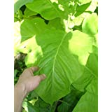 Delgold Tobacco Seed. approx 500 Seeds per pack